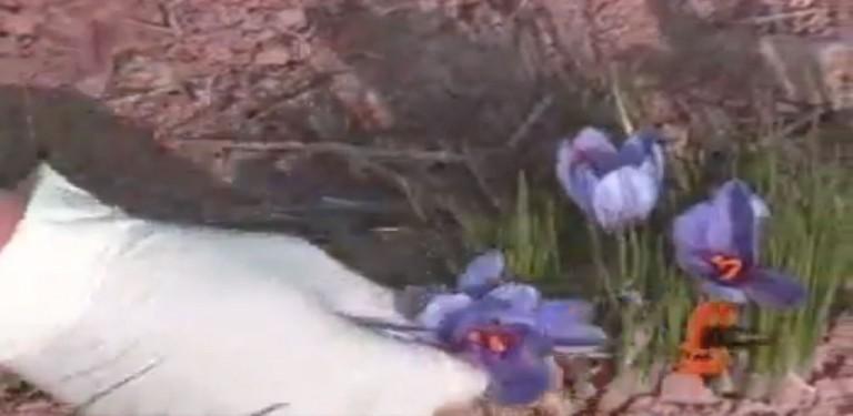 زعفران فراوری بسته بندی تولید