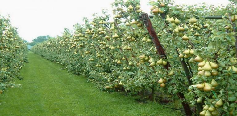 تولید و فروش نهال میوه برای باغ ها