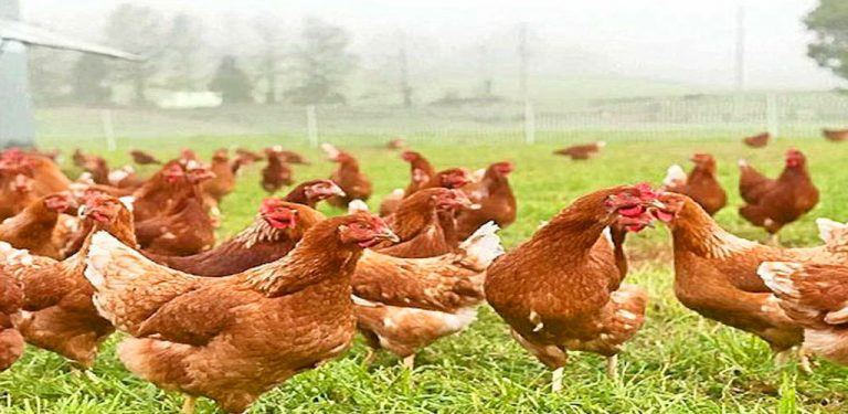 اسپیرولینا جلبک غذای مرغ ماکیان آهن