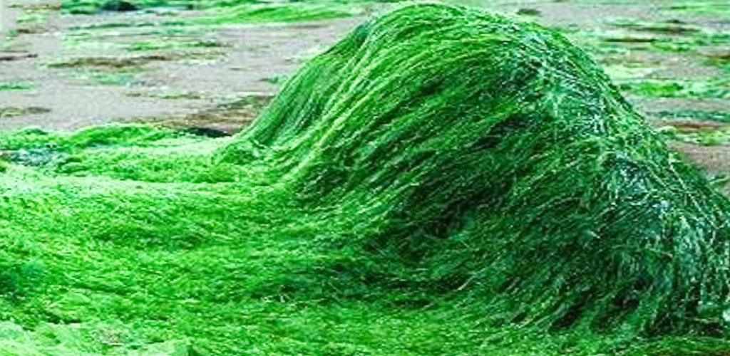 گیاه اسپیرولینا سیانوباکتری سبزآبی